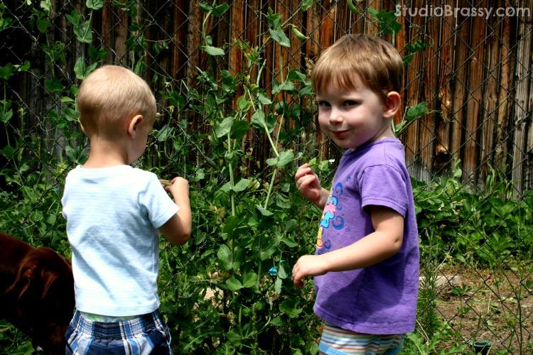 kids picking sugar snap peas